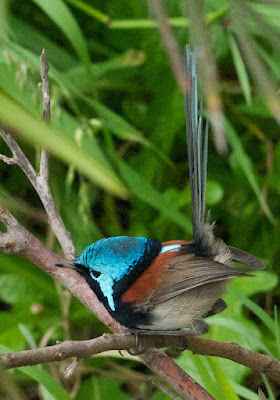 Red-winged Fairy-wren (Malurus elegans)
