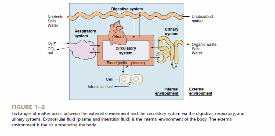 explain how systems interrelate to maintain homeostasis All of the body's systems work together to maintain balance in the body, but various systems do have specific roles two of the most important systems for maintaining homeostasis are the nervous and endocrine systems.