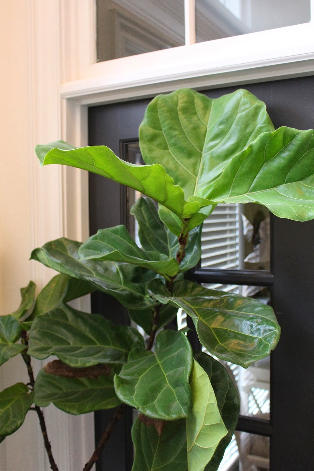Pin big leaf house plants pictures on pinterest - Big leaf indoor plants ...