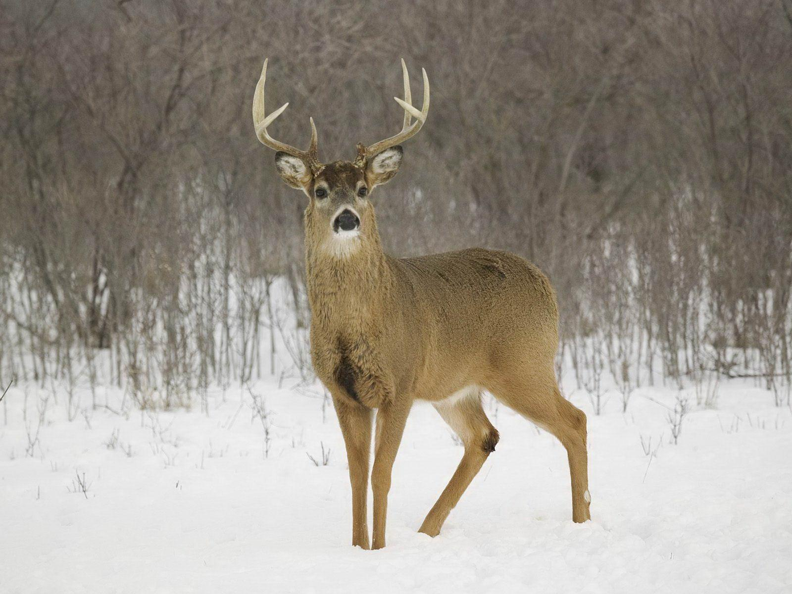 whitetail deer In summer, they are reddish-brown to tan above the winter the colors are grayish to grayish brown fawns are reddish, brown or reddish-yellow spotted with white.