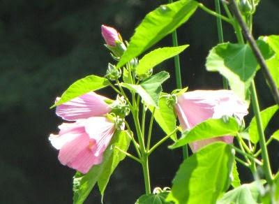 wild hibiscus, swamp rose-mallow