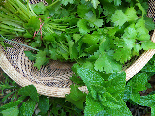 Cilantro in Basket with Mint in Yard