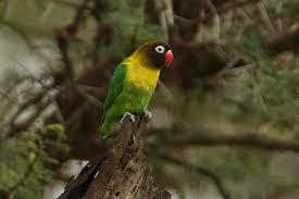 Jenis Burung Lovebird Terlengkap Beserta Gambar