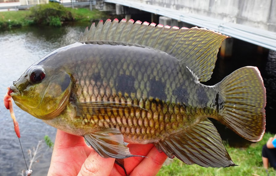 Ben cantrell 39 s fish species blog fl shameless lifelisting for Types of fish in florida