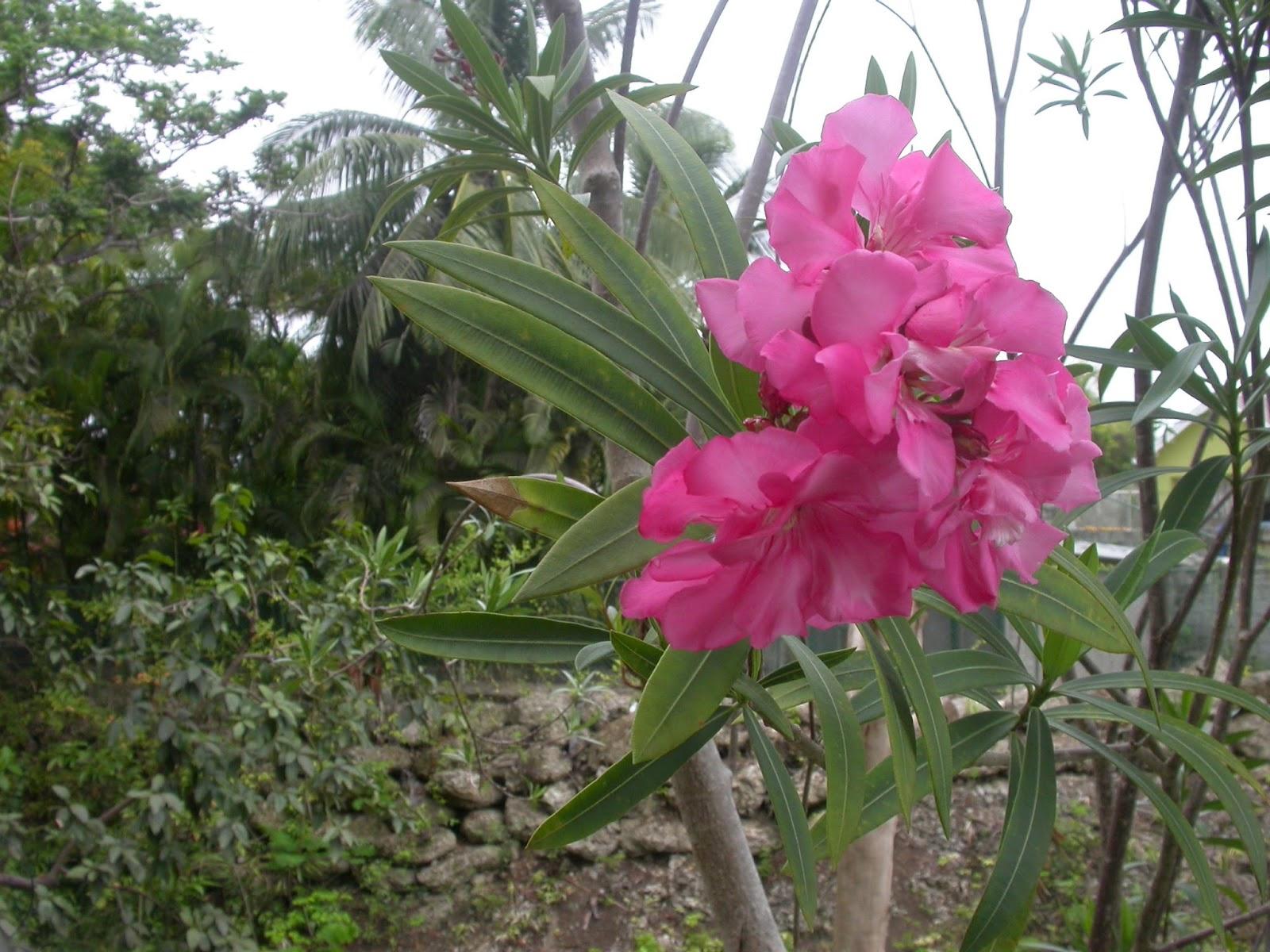 barbados flora amp fauna oleander nerium