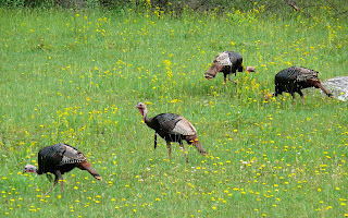 Group of male Eastern Wild Turkeys Meleagris gallopavo silvestris in Avery County, North Carolina, United States of America