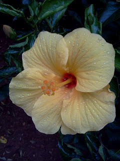yellow hibiscus after rain