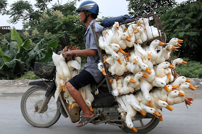 Transporte salvaje de patos