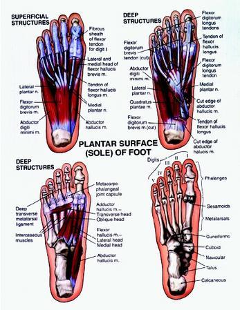 Surface anatomy foot
