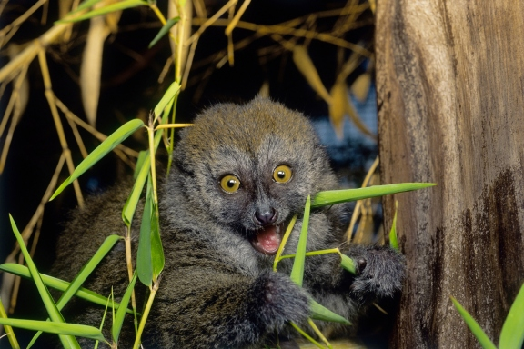 15 cutest endangered animals in the world, gray gentle lemur