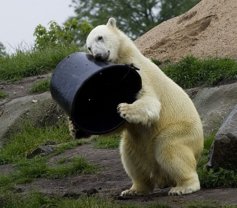 funny animals, animal pictures, polar bear loves bucket