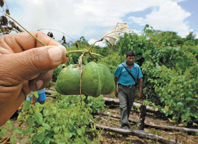 Orientan al Biocomercio el manejo integrado del Sacha Inchi INIA y Gobierno Regional de San Martín-