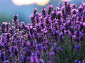 i luv lavender