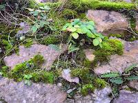 Fraisier sur un mur à Ceterach