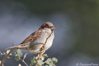 Monsieur Moineau domestique (Passer domesticus), Mister House Sparrow