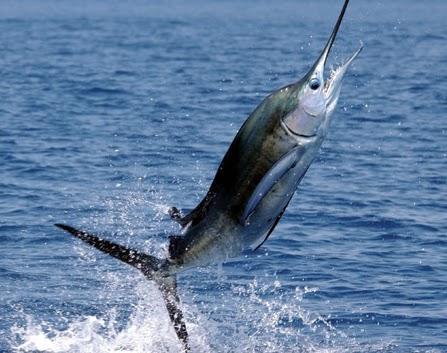 Desde las gavetas de mi escritorio los peces c mo nadan for Curiosidades del pez espada