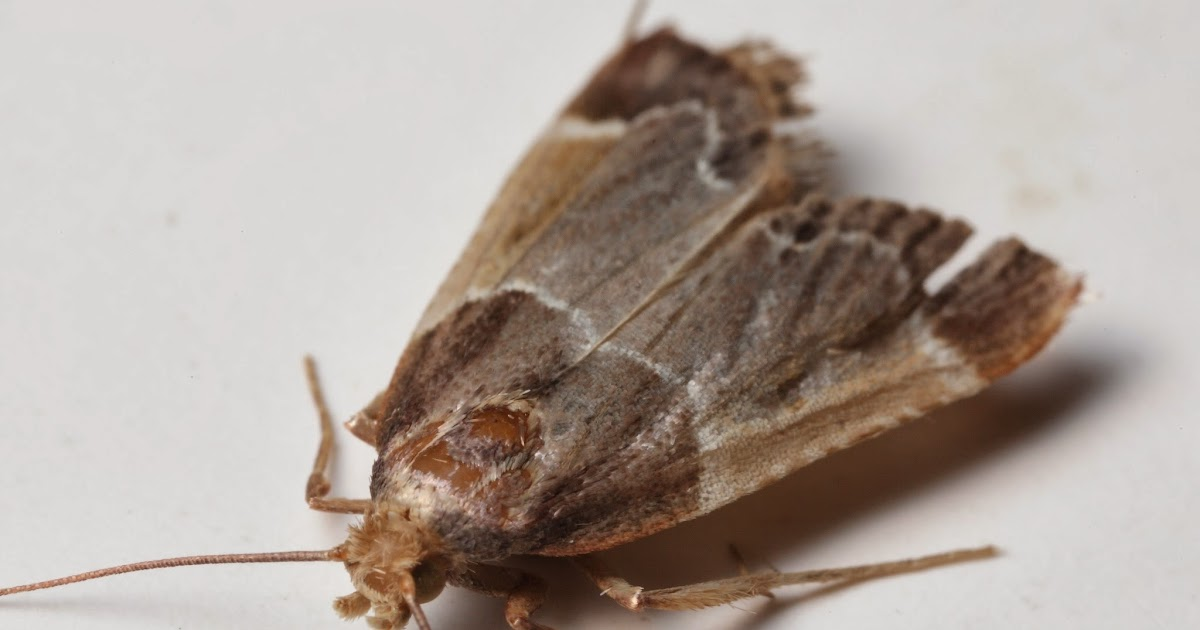 Flour moth personalised project on - Larve mite alimentaire ...