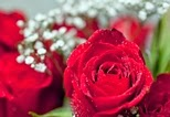 Červená růže v pozadí s bílými květy