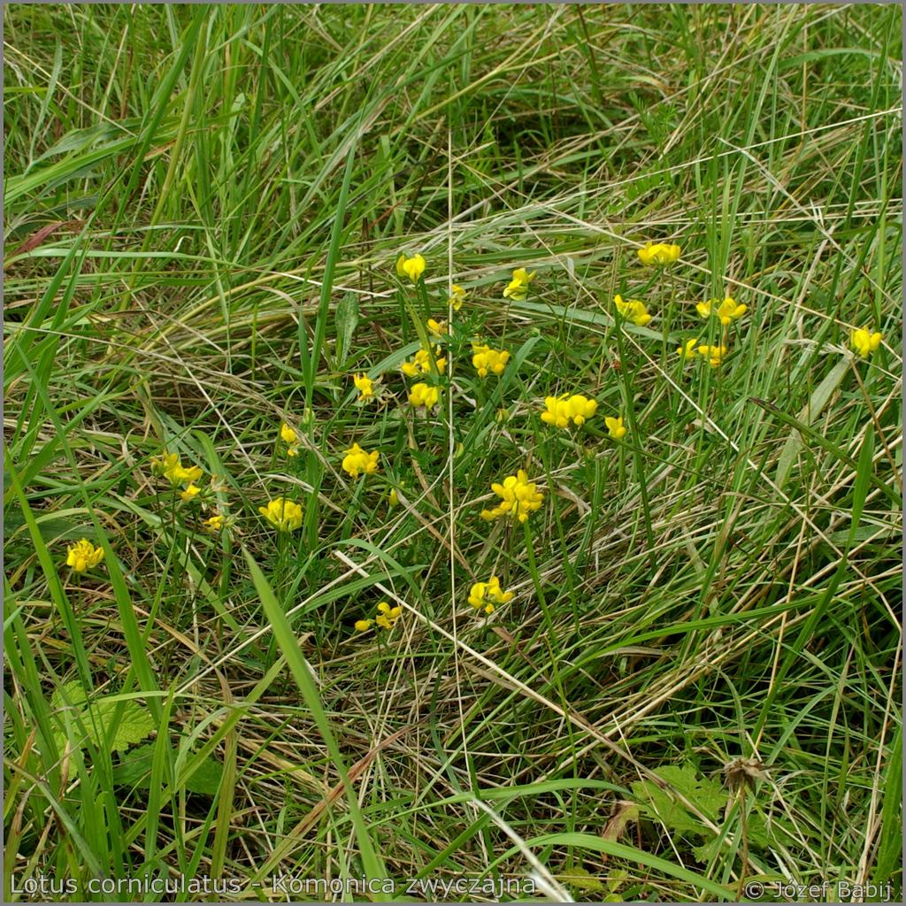 Lotus corniculatus habitat    - Komonica zwyczajna   przykładowe środowisko występowania