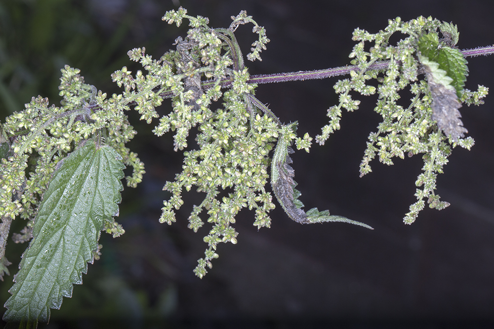 Urtica dioica, Stinging Nettle.  Hayes, 2 December 2012.