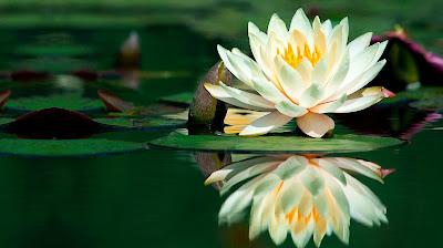 Linda flor de loto sobre en agua