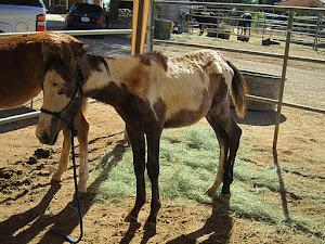 Diesel an Orphaned Foal- Saved 2011