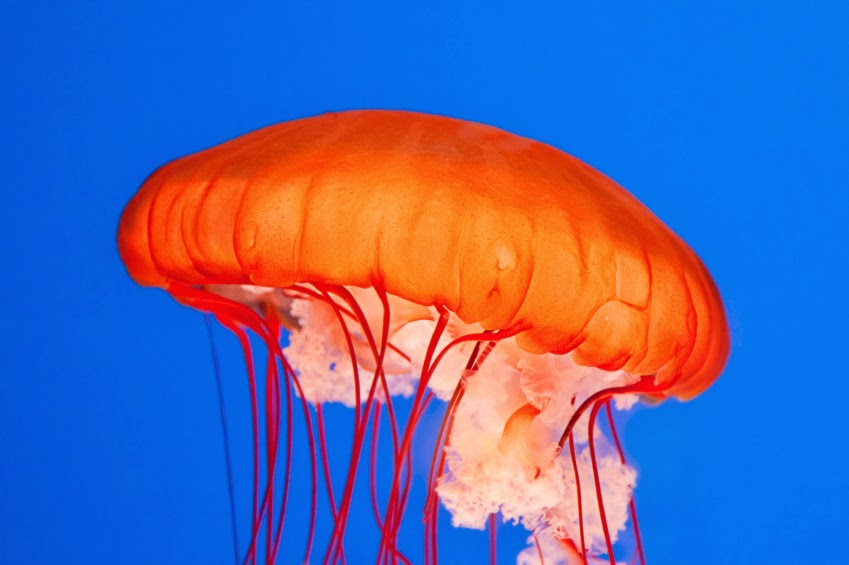 The discovered Jellyfish that destroys Evolution.