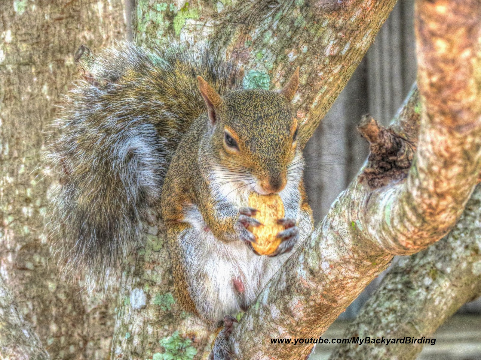 Gray Squirrel Eating Peanut