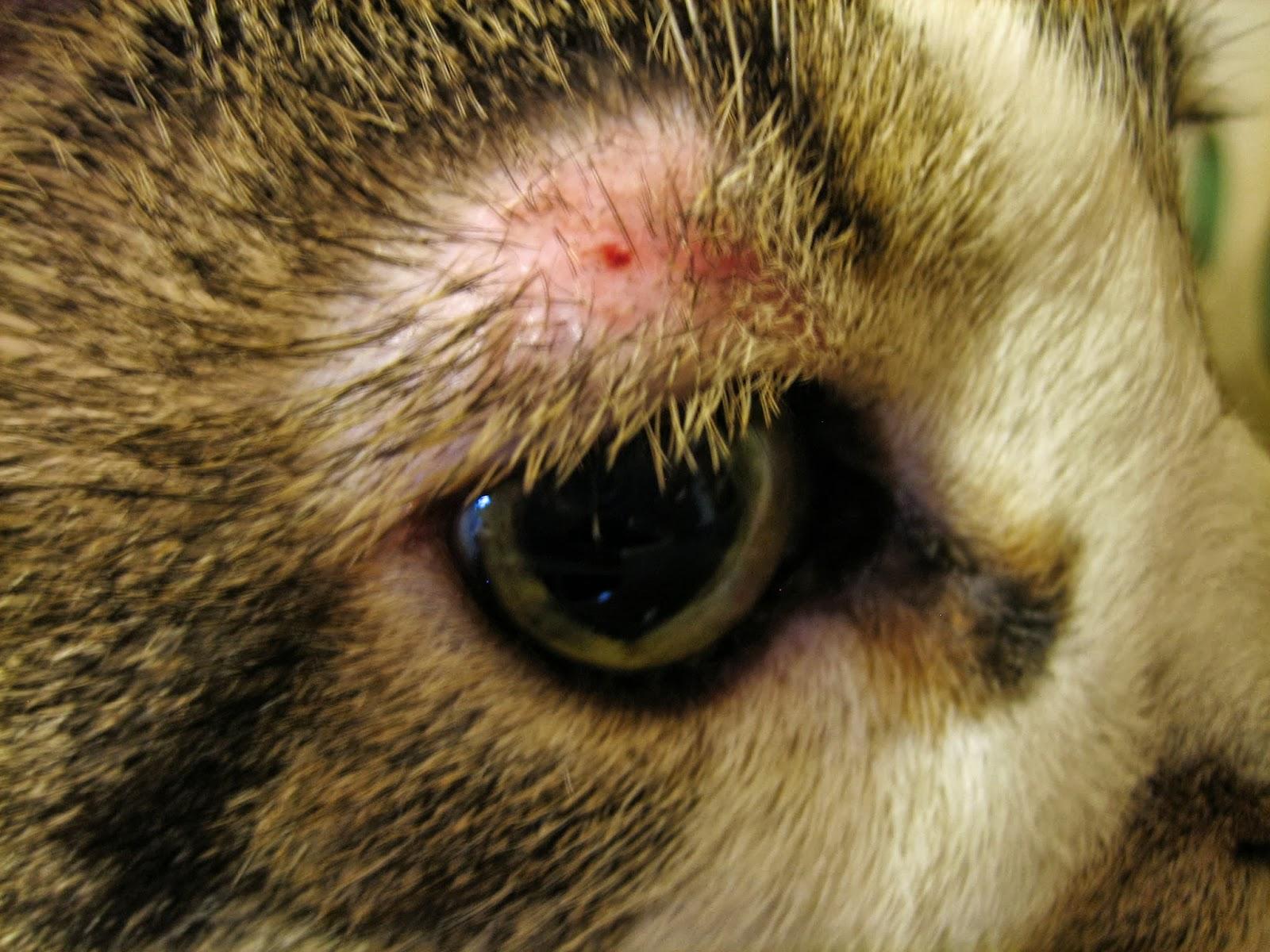 Round Sores On Cat S Hind Legs