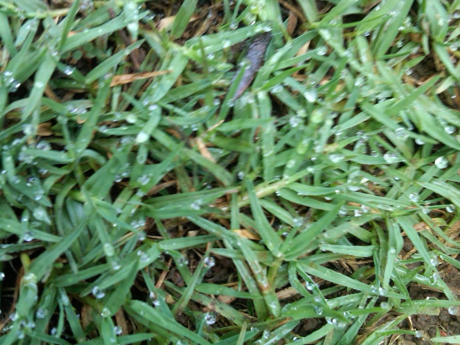 http://tukangtamankaryaalam.blogspot.com/2014/12/rumput-golf-tukang-rumput-golf.html