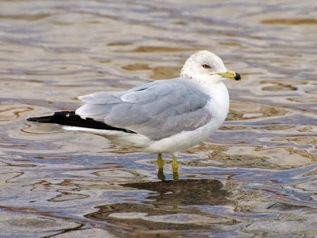 Ring-billed Gull Larus delawarensis_5723