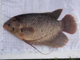 Pedoman Teknis Budidaya Ikan Gurami