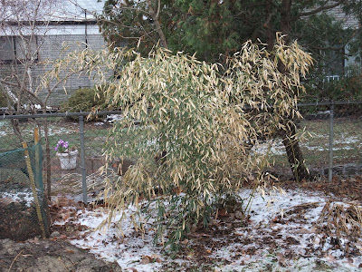 Bamboo in michigan, winter, yellow leaves