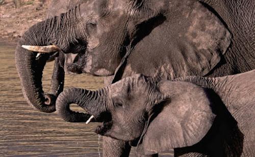 China anuncia fim do comércio de marfim em 2017