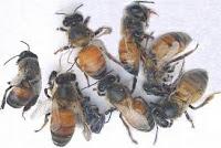 شلل النحل