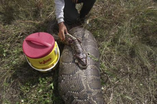 16-foot python everglades florida ate deer