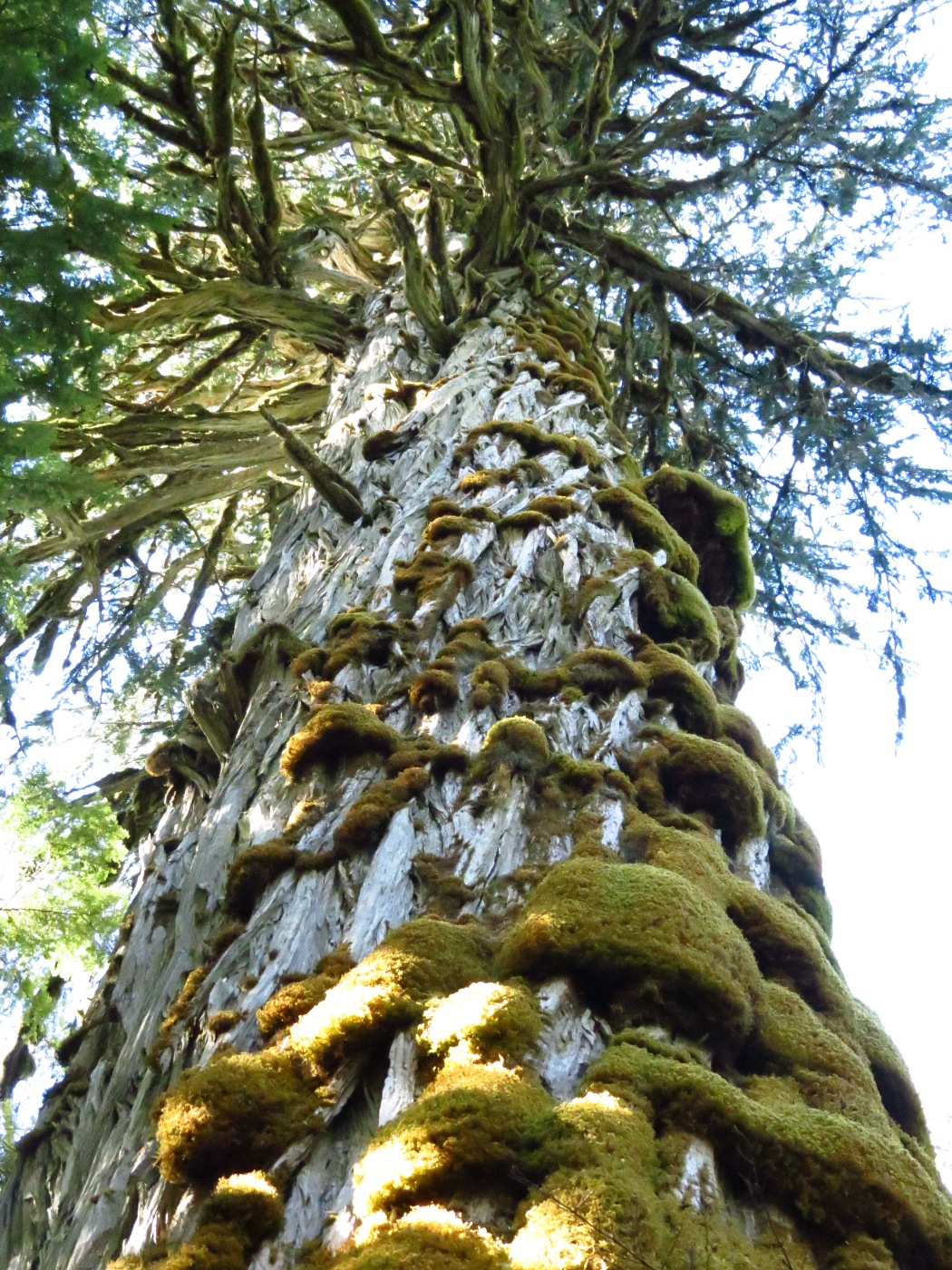 Vancouver island big trees world 39 s largest yellow cedars for Cedar credit