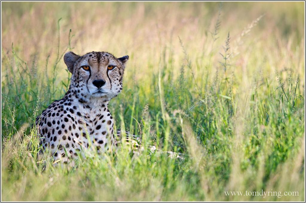 Cheetah quotes - photo#10