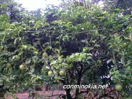La Chinola fruta