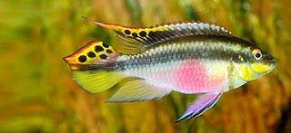 ikan kribensis