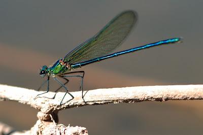 libelula resplandeciente Calopteryx exul
