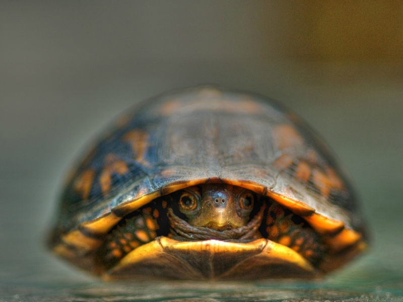 Pet Turtles : The Eastern Painted Turtles