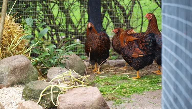 Guldrandede dværg wyandotter i havens sorte hønsegård
