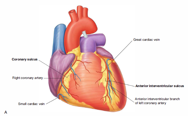 Posterior Interventricular Artery | www.pixshark.com ...