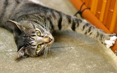 Fotos de gatitos muy tiernos III (12 imágenes gratis)