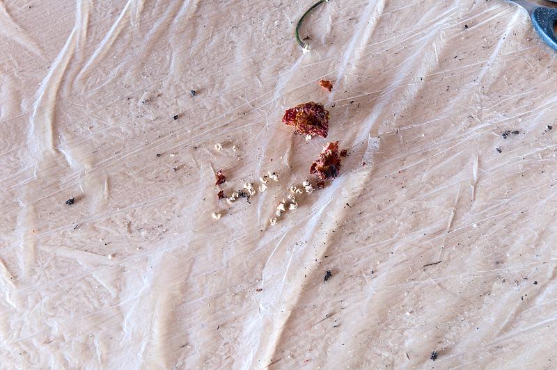 Trinindad Moruga Scorpion seeds before planting
