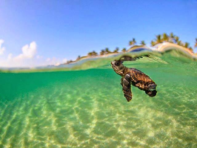 Loggerhead, turtle, florida