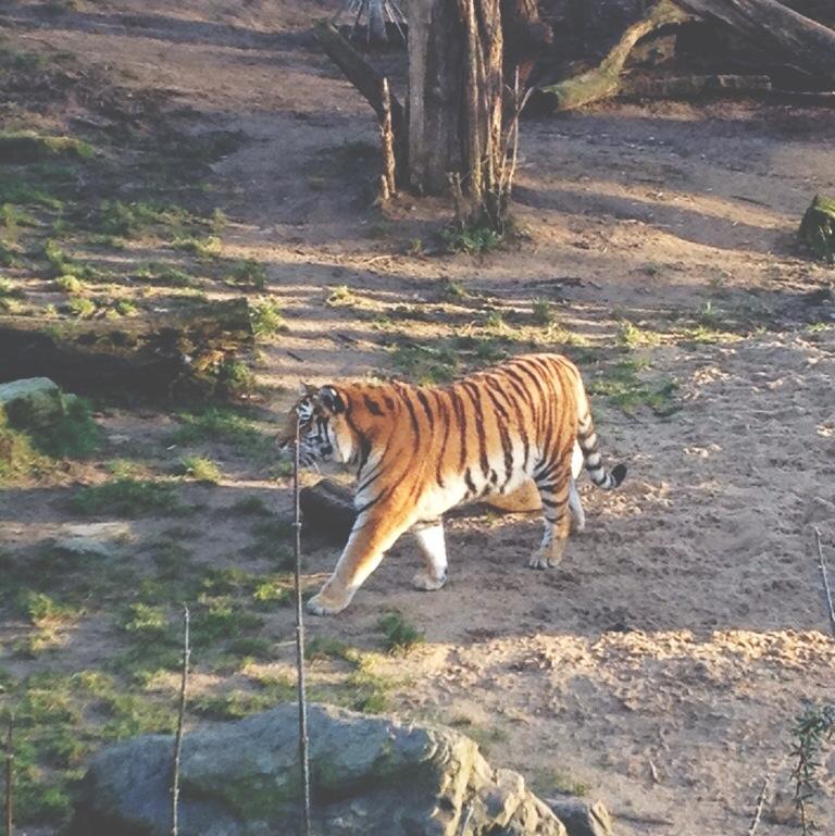 Kölner Zoo, Köln, Zoo, Tiger, Frollein Pfau