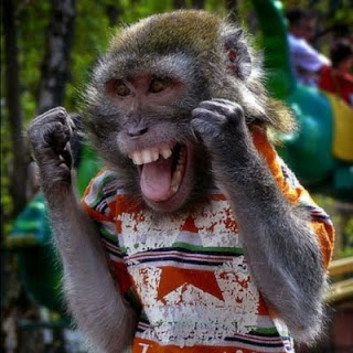 Funny Picture of Monkey Laughs