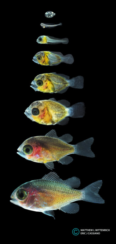 The larval development of Chromis viridis, as documented by Wittenrich & Cassiano, courtesy of Rising Tide.